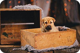 Shar Pei/German Shepherd Dog Mix Puppy for adoption in Portland, Oregon - Orange Blossom