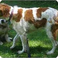 Adopt A Pet :: Brittany - Rochester, NY - Buffalo, NY