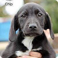 Adopt A Pet :: Chip - South Jersey, NJ
