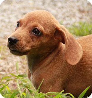 Dachshund Mix Puppy for adoption in Allentown, Pennsylvania - Heidi (POM)