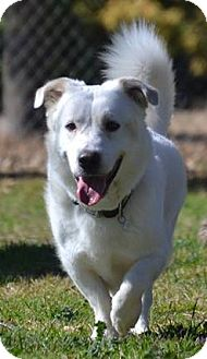Great Pyrenees/Corgi Mix Dog for adoption in Dallas, Texas - Casper