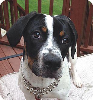 German Shorthaired Pointer/Great Pyrenees Mix Puppy for adoption in Harrisonburg, Virginia - Carlie