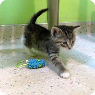 Domestic Shorthair Kitten for adoption in Janesville, Wisconsin - Pepper