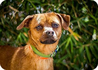 Chihuahua Mix Dog for adoption in Berkeley, California - Peewee