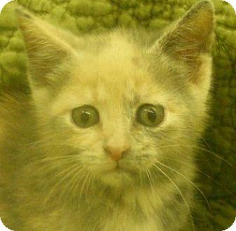 Domestic Shorthair Kitten for adoption in Olive Branch, Mississippi - Diva