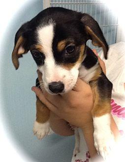 Dachshund Mix Puppy for adoption in Phoenix, Arizona - Candace
