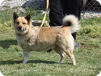 Norwegian Elkhound Mix Dog for adoption in Cottageville, West Virginia - Amigo