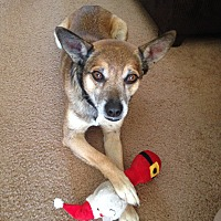 Terrier (Unknown Type, Small)/Shepherd (Unknown Type) Mix Dog for adoption in Phoenix, Arizona - Murphy