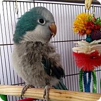 Adopt A Pet :: Victor - Lenexa, KS