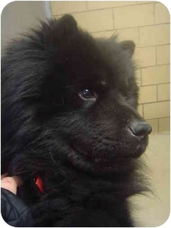 Chow Chow Dog for adoption in Freeport, New York - Mimoku