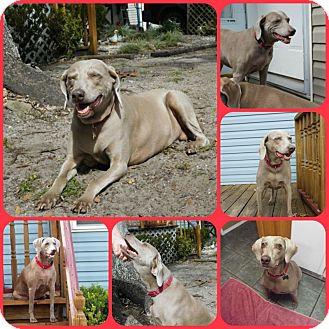 Weimaraner Dog for adoption in Inverness, Florida - Hope