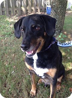 Shepherd (Unknown Type)/Beagle Mix Dog for adoption in Sinking Spring, Pennsylvania - Jake