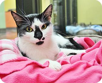 Domestic Shorthair Cat for adoption in Benbrook, Texas - Haylee