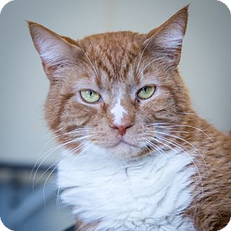 Domestic Shorthair Cat for adoption in Martinsville, Indiana - Biggie Smalls