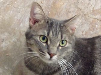 American Shorthair Cat for adoption in Santa Rosa, California - MAX