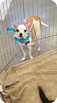 Chihuahua Mix Dog for adoption in Goodyear, Arizona - cowboy