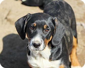 Bernese Mountain Dog/Labrador Retriever Mix Puppy for adoption in Liberty Center, Ohio - Vegas