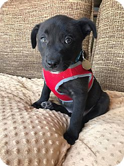 Labrador Retriever/Shepherd (Unknown Type) Mix Puppy for adoption in Fort Atkinson, Wisconsin - Logan