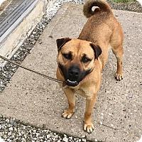 Adopt A Pet :: PENNY - Cadiz, OH