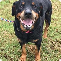 Adopt A Pet :: Sheba - Irmo, SC