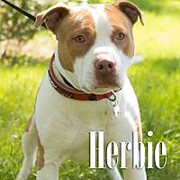 Adopt A Pet :: Herbie - Cheyenne, WY