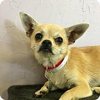 Adopt A Pet :: Phoebe - Dallas, TX