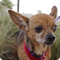 Chihuahua Mix Dog for adoption in Danbury, Connecticut - Rosaline