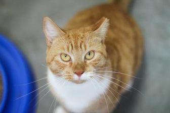 Domestic Shorthair/Domestic Shorthair Mix Cat for adoption in Manteo, North Carolina - Sentil
