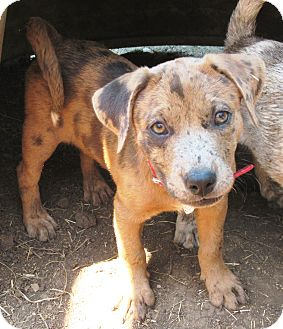 Catahoula Leopard Dog/Australian Cattle Dog Mix Puppy for adoption in Godley, Texas - Cami