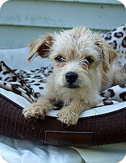 Poodle (Toy or Tea Cup)/Yorkie, Yorkshire Terrier Mix Puppy for adoption in West Nyack, New York - Kosmo