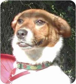 Australian Cattle Dog Mix Dog for adoption in El Segundo, California - Sadie