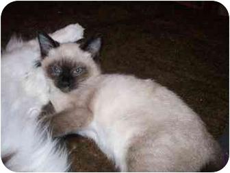 Siamese Cat for adoption in Broken Bow, Oklahoma - Rhiannon