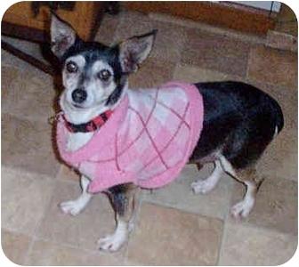 Chihuahua Mix Dog for adoption in Honesdale, Pennsylvania - Juanita