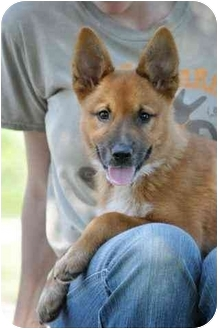 Shepherd (Unknown Type) Mix Puppy for adoption in Portsmouth, Rhode Island - Gracie