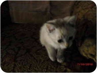 Domestic Shorthair Kitten for adoption in Tracy, California - Nala-ADOPTED!