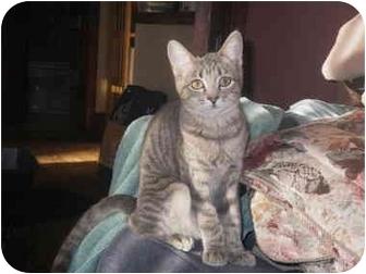Domestic Shorthair Kitten for adoption in Portland, Maine - Chelsea
