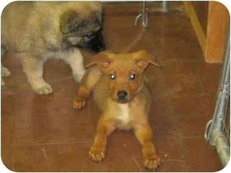 German Shepherd Dog/Terrier (Unknown Type, Medium) Mix Puppy for adoption in Plano, Texas - Austin