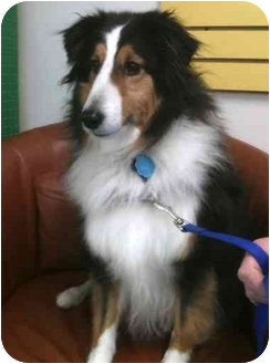 Sheltie, Shetland Sheepdog Dog for adoption in Indiana, Indiana - Ringo