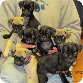 Pug Puppy for adoption in Brodheadsville, Pennsylvania - Pug Litter