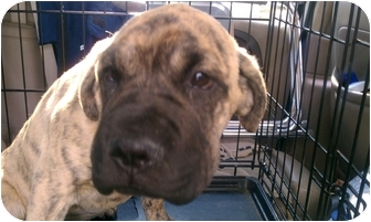 Mastiff Puppy for adoption in San Fernando Valley, California - Harley Davidson