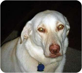 Labrador Retriever Dog for adoption in Morehead City, North Carolina - Maddy