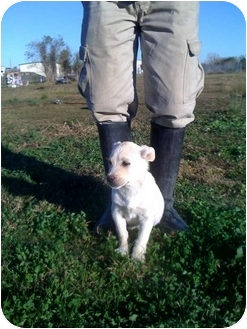 Boxer/Boxer Mix Puppy for adoption in Rosharon, Texas - Buster