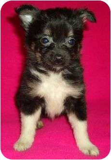 Chihuahua/Pomeranian Mix Puppy for adoption in Plainfield, Connecticut - Greta