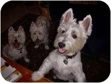 Westie, West Highland White Terrier Dog for adoption in Frisco, Texas - Jeffe