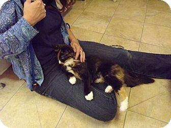 Domestic Mediumhair Cat for adoption in Dallas, Texas - Marie
