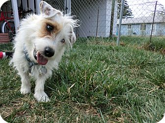 Jack Russell Terrier Dog for adoption in Ft. Collins, Colorado - Kirby
