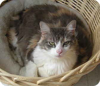 Domestic Longhair Cat for adoption in Virginia Beach, Virginia - Tiffany