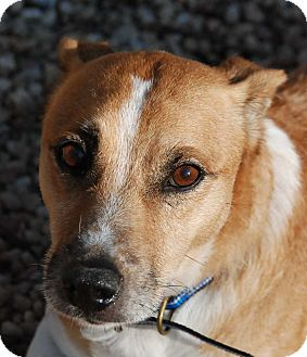 Welsh Corgi/Jack Russell Terrier Mix Dog for adoption in Philadelphia, Pennsylvania - Rusty