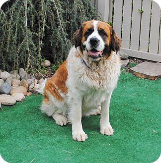 St. Bernard Dog for adoption in Bellflower, California - Maggie Mae
