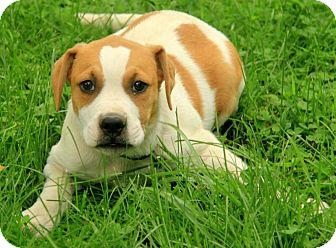 American Bulldog/Boxer Mix Puppy for adoption in Harrisonburg, Virginia - Leland (adoption fee $350)